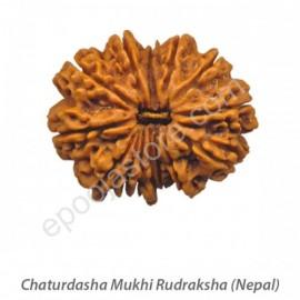 Chaturdasha Mukhi Rudraksha  (With Silver Capping)