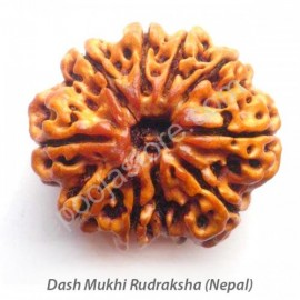 Dash Mukhi Rudraksha ( With Silver Capping )