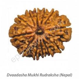 Dvaadasha Mukhi Rudraksha  ( With Silver Capping )