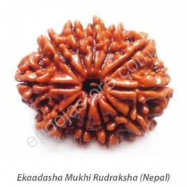 Ekaadasha Mukhi Rudraksha ( With Silver Capping )